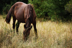 Horse is grazed on a meadow against green trees Royalty Free Stock Photo