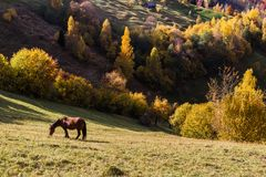 The horse is grazed on a meadow in the Carpathians mountains. In the autumn evening on sunset the horse is grazed on a meadow in the Carpathians mountains Stock Photos