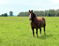 The horse is grazed on a meadow. The horse is in the village Stock Image