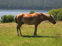 Horse is grazed on sunny meadow. Lunch break. Summer. Lake Baikal. Journey on horseback. Stock Photos