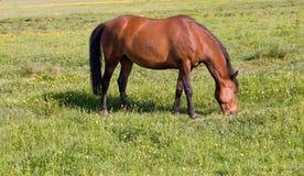 Horse grazes Stock Image