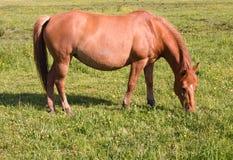 Horse grazes Stock Images