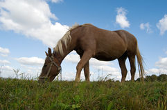 Horse grazes Royalty Free Stock Photo