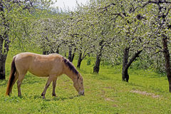 A horse grazes beneath blooming apple trees. Royalty Free Stock Image