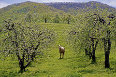 A horse grazes beneath blooming apple trees. Stock Photos