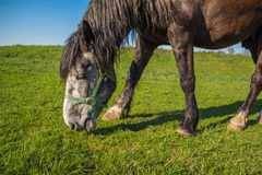 A horse grazes on a brown suit with green grass field day Stock Image