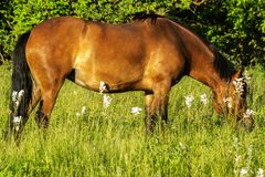 Horse grazes and eats grass in summer royalty free stock photography
