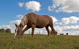 Horse grazes on the field Royalty Free Stock Images