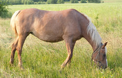 Horse grazes Stock Photography