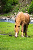 Horse grazes Royalty Free Stock Photos