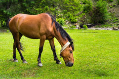 Horse grazes Royalty Free Stock Photography