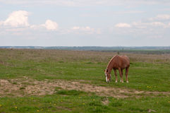Horse grazes Stock Images