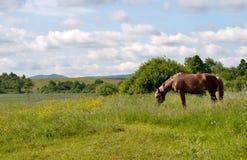 Horse grazes Stock Photo
