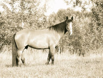 Horse grazes on the field. Old style. Royalty Free Stock Photo