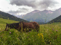 Horse grazes in a field Royalty Free Stock Photos