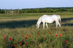 Horse. Grazes on a grass Royalty Free Stock Images