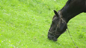 Horse grazes on the lawn stock footage