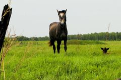 The horse grazes on the meadow. grazing horses. royalty free stock images