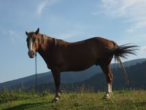 The horse grazes in the mountains. The horse is eating grass against the backdrop of the mountains Stock Photography