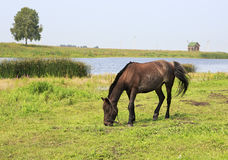 Horse grazes near a pond. Stock Images