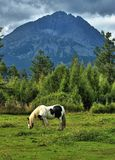 Horse grazes on an open field Stock Photo