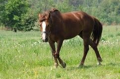 A horse grazes Royalty Free Stock Photos