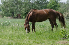 A horse grazes Stock Photography