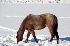 Horse Grazes In Snow Royalty Free Stock Photo
