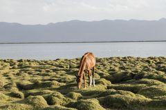 A horse grazes at Song Kul Lake in Kyrgyzstan in the evening light. A horse grazes at Song Kul Lake in Kyrgyzstan in the magic evening light Royalty Free Stock Photo