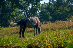 Horse grazes. Among the valleys with dense grass Royalty Free Stock Photos