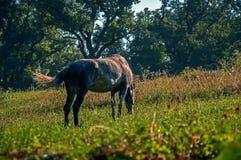 Horse grazes Royalty Free Stock Photos