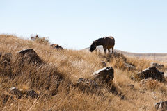 Horse grazes in Zorats Karer in Armenia Stock Photo
