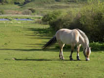 Horse grazing. Horse feeding on the fresh grass stock image