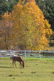 Horse Grazing. In Pasture in Autumn Stock Image