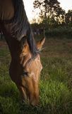Horse Grazing. Farm horse grazing in late afternoon light Royalty Free Stock Photos