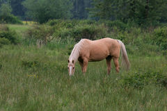 Horse grazing. Palomino eating grasses Royalty Free Stock Image