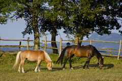 Horse grazing Royalty Free Stock Photos