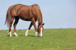 Horse Grazing. Chestnut Horse with four white socks Grazing in field Stock Photos