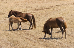 Horse grazing. Royalty Free Stock Image