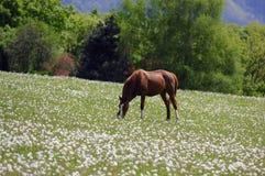 Horse grazing Stock Photos
