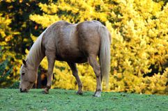 Horse grazing. Light brown horse grazing in an outdoor setting with a colorful yellow tree in the background Stock Image