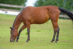 Horse Grazing Stock Photo