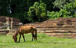 Horse Grazing. Horse is eating the grasses on the field Royalty Free Stock Photos