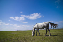 Horse grazing. A beautiful dapple-grey horse grazing on a green meadow in front of blue sky background on a sunny day Stock Image