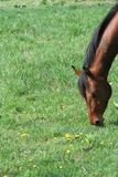Horse grazing. A brown horse grazing in a meadow royalty free stock photography
