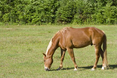 Horse Grazing Stock Photography