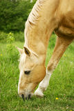 Horse grazing. Palomino stallion grazing on a green pasture Royalty Free Stock Images