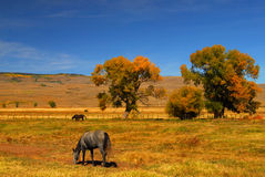 Horse Grazing. Grazing Horses on the range in Gunnison royalty free stock photos