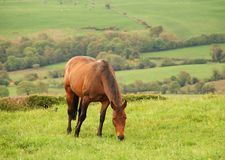 Horse Grazing. In a field with a countryside view of trees and sheep in the background Stock Images
