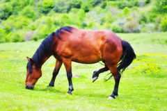 Horse grazing Royalty Free Stock Photography